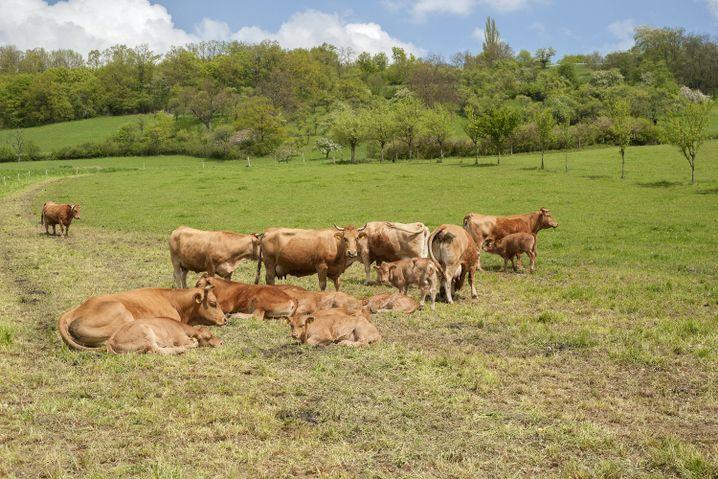 Limpurger werden meist in kleinen Herden gehalten