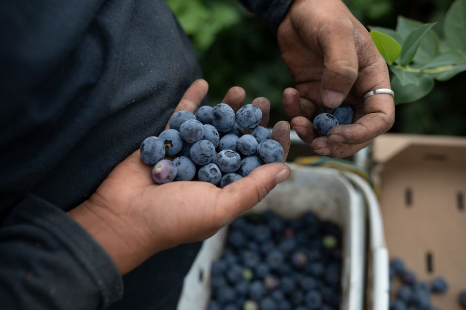 Logofruits got started in 2016, but now grows berries for export on 370 acres of land.