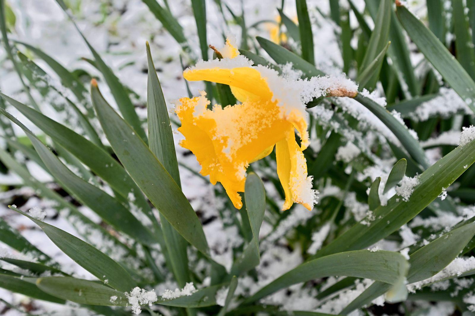 Plötzlicher Wintereinbruch im Frühjahr. Gelbe Narzissen mit unerwartetem Schnee im Frühling. Siegsdorf Bayern Deutschlan
