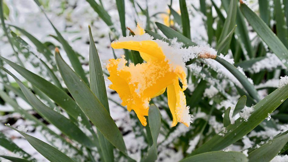 Schnee auf der Osterglocke: Dieser April war viel zu kalt