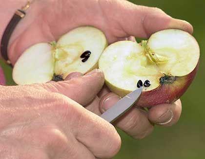 : Fett-Förderer: Der Fruchtzucker in Früchten und Säften macht dick