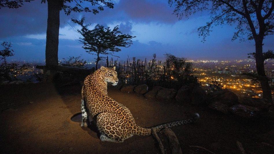 Leopard im Sanjay-Gandhi-Nationalpark