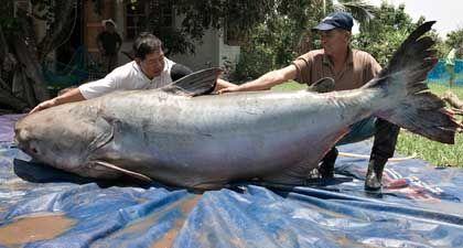 Fischer präsentieren ihren Fang: Größter bisher gefangener Fisch