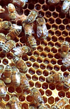 Bienenstock: Verursacht ein Insektizid das massenhafte Sterben der Insekten?