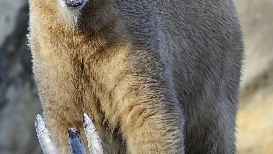 Polar bear Knut has finally made friends with a fellow bear.