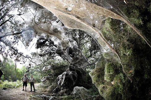 Riesen-Spinnennetz im Lake Tawakoni State Park: Bäume und Sträucher auf einer Strecke von 200 Metern bedeckt