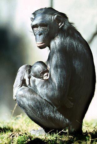 """Zwergschimpanse mit Baby: """"Wie du mir, so ich dir"""""""