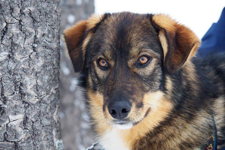 Alaskan Huskys sehen auf den ersten Blick nicht wie typische Schlittenhunde aus. Sie wurden gezüchtet, um extrem lange Strecken zu laufen und entstanden aus einer Kreuzung von Sibirian Huskys mit anderen Jagd- und Schlittenhunden.