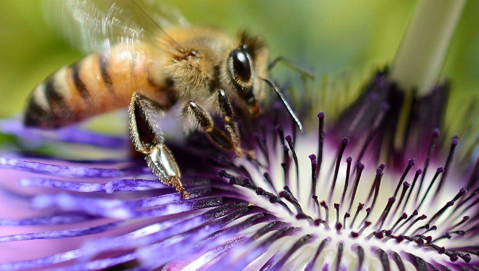 Gefährdeter Bestäuber (Archivbild): Sorge um Honigbienen-Bestände