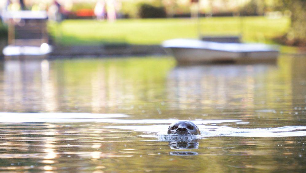 Photo Gallery: Wayward Seal Settles at Zoo Pond