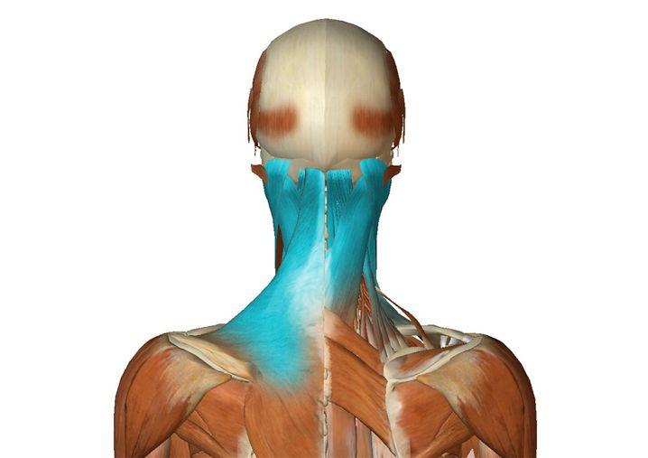Hintere Nackenmuskulatur (zur Großansicht bitte klicken)