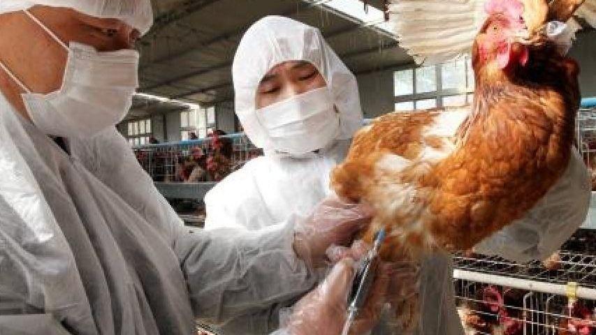 Impfung von Hühnern in China