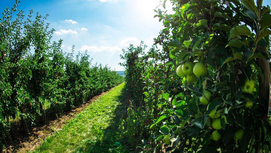 Apfelplantage in Thüringen