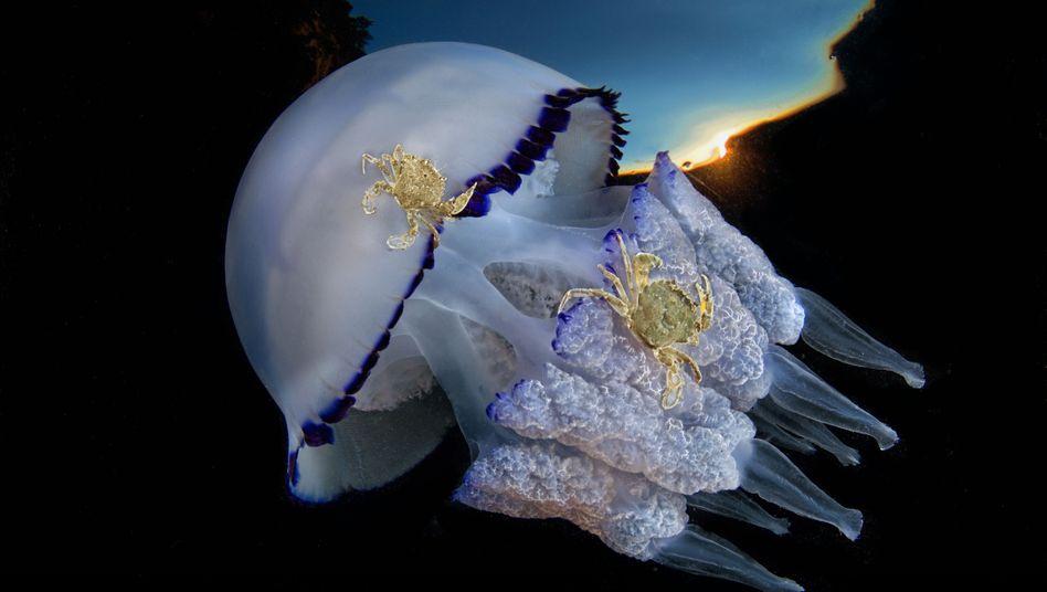 Lungenqualle im Golf von Neapel. Die Krebse nutzen das Tier als Transportmittel. Kommt die Qualle dem Meeresboden nah, springen sie auf und lassen sich ein Stück mittragen.