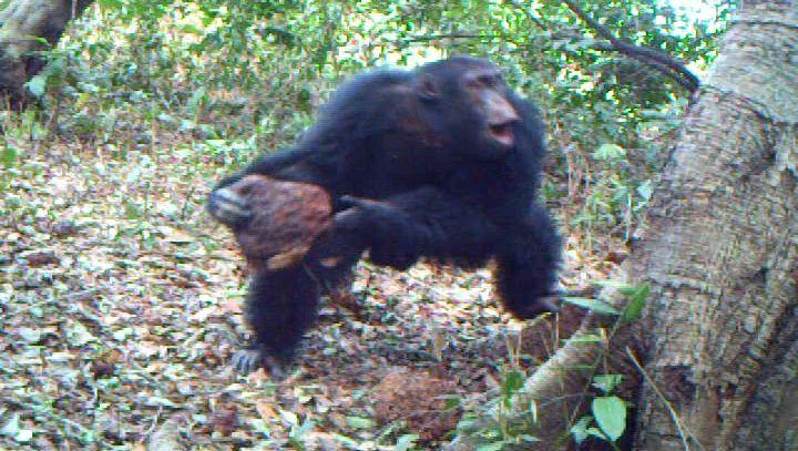 Schimpanse mit Stein: Ritualisiertes Imponiergehabe
