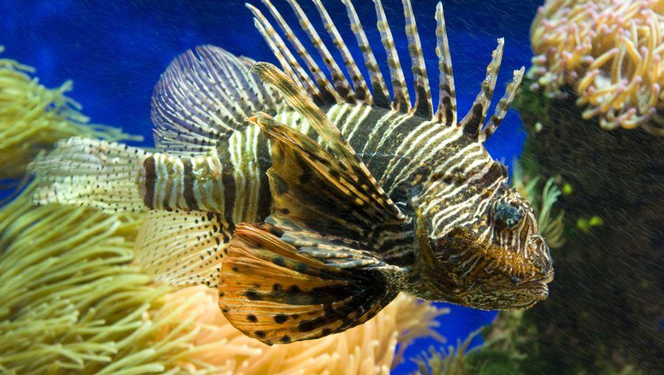 Giftiger Feuerfisch: Will er jagen, wedelt er Artgenossen mit der Flosse zu