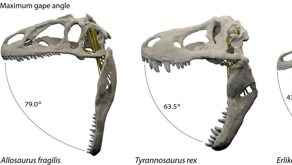 Beisskraft-Studie: Der Biss des T-rex