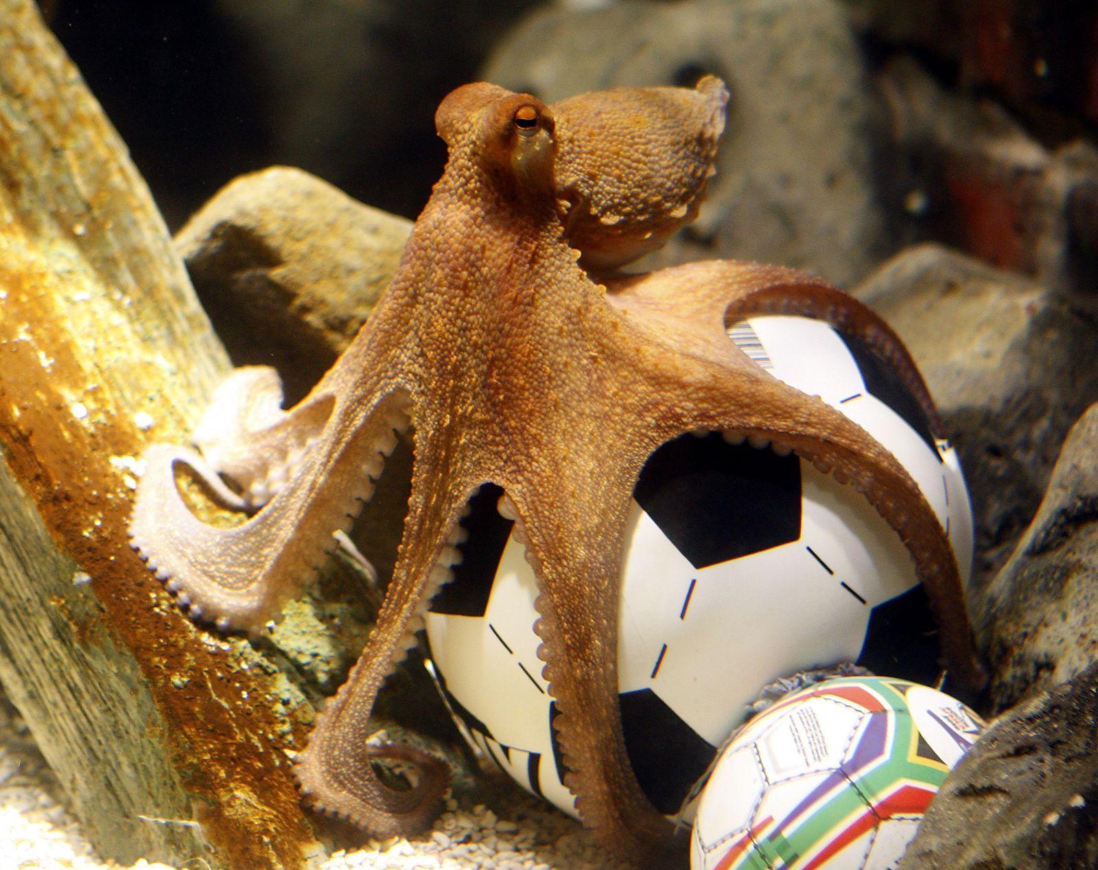 Oktopus Paul