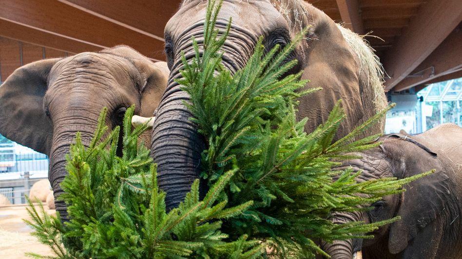 Elefanten fressen Tannenbäume im Zoo in Wuppertal