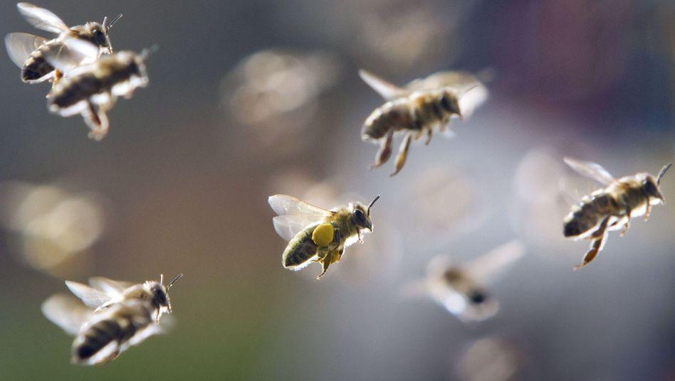 """Bienenschwarm im Anflug: """"Die beste Lebensversicherung für ein Honigvolk"""""""