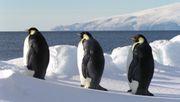 Warum Omega-3-Präparate den Fortbestand der Pinguine gefährden