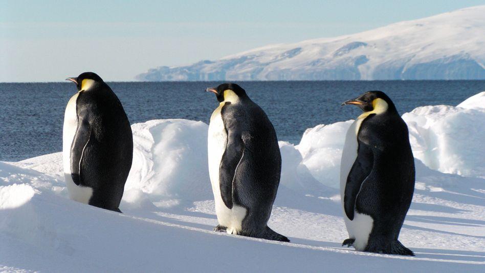 Wichtiger Rastplatz: Eisflächen dienen Kaiserpinguinen als Ruheinseln während der Jagd
