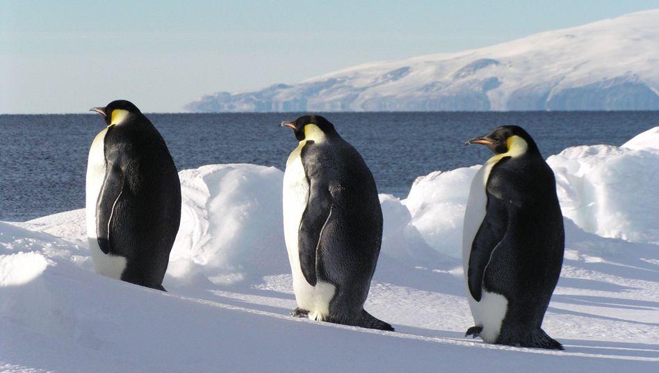Kaiserpinguine stehen auf einer Eisscholle