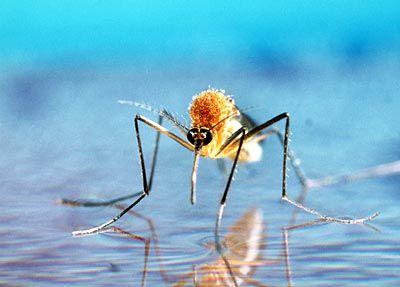 Frisch geschlüpfte Steckmücke