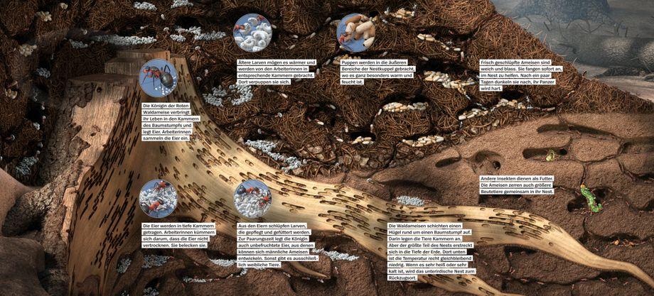 Die Rote Waldameise ist auch in Deutschland heimisch. So sieht es im Inneren ihres Nests aus. Diese Grafik stammt von Armin Schieb, der ein ganzes Buch über Ameisen illustriert hat: »Das Ameisenkollektiv«, erschienen im Kosmos Verlag.