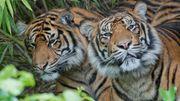 Mehrere seltene Sumatra-Tiger sterben in Drahtfalle
