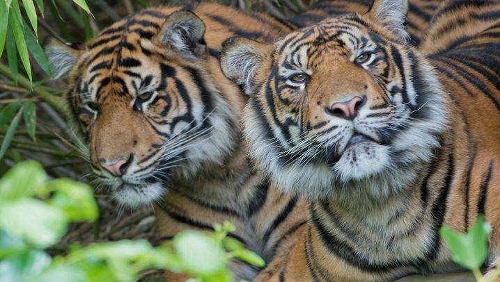 Bedrohte Tiger: Die Letzten ihrer Art