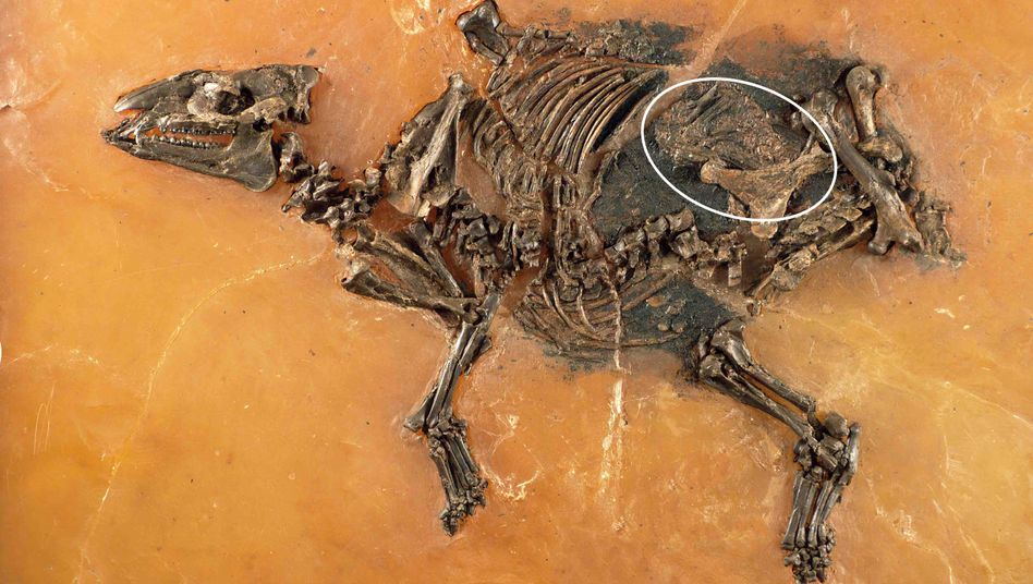 Fossil einer trächtigen Urzeit-Stute mit Fötus im Bauch: Fund in Messel