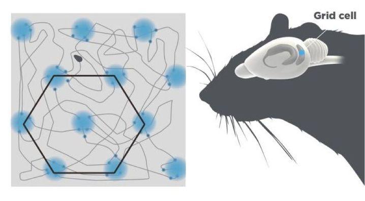 Aktivitätsmuster der Gitterzellen