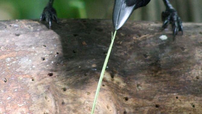 Neukaledonische Krähe: Futter angeln mit Stäbchen