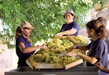 Weinlese auf Mallorca: Prensal-blanc-Trauben werden handgelesen und sortiert