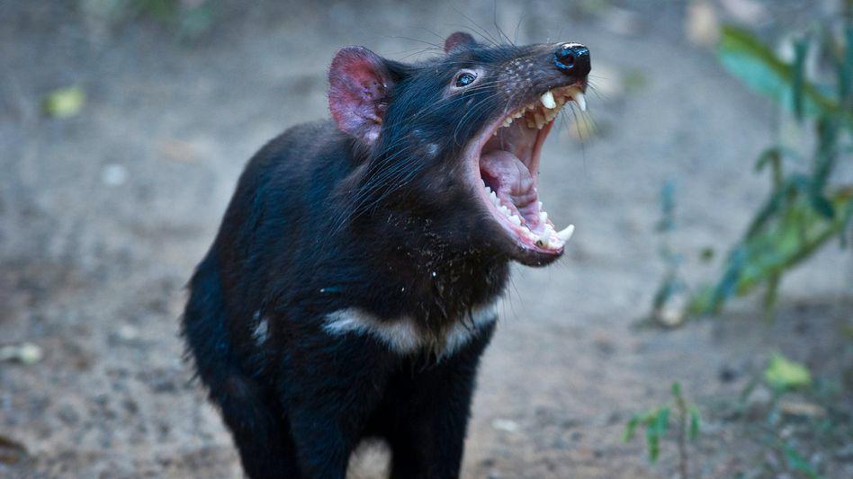 Der Tasmanische Teufel ist das weltweit größte noch lebende Raubbeuteltier