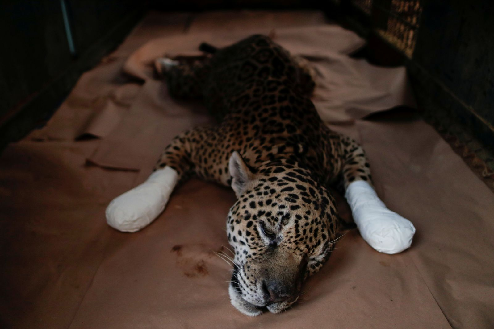 An adult male jaguar receives treatment for burn injuries in Corumba de Goias