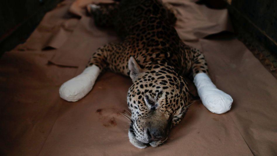 Jaguar mit verbrannten Pfoten in Brasilien