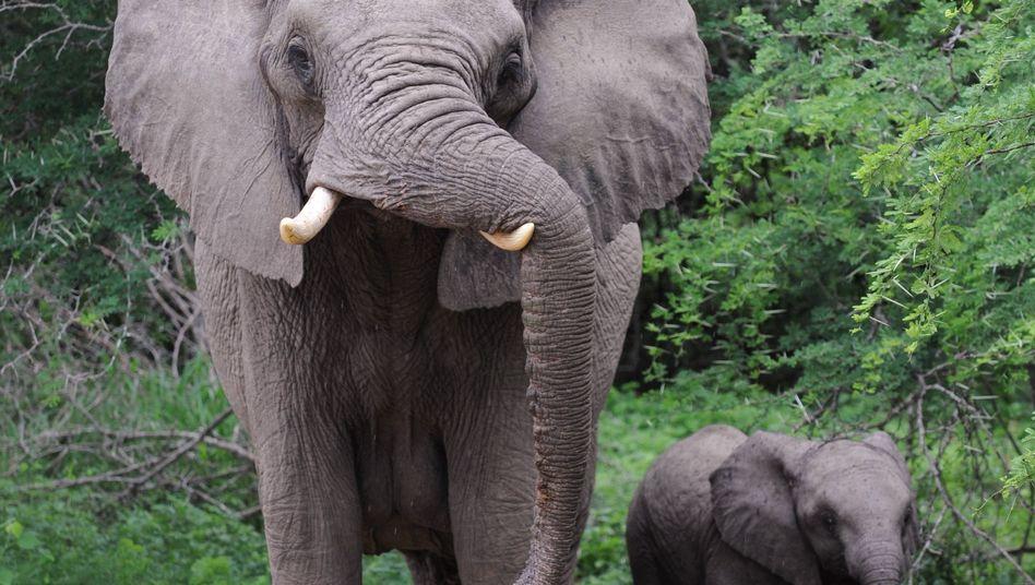 Elefant: Teures Elfenbein