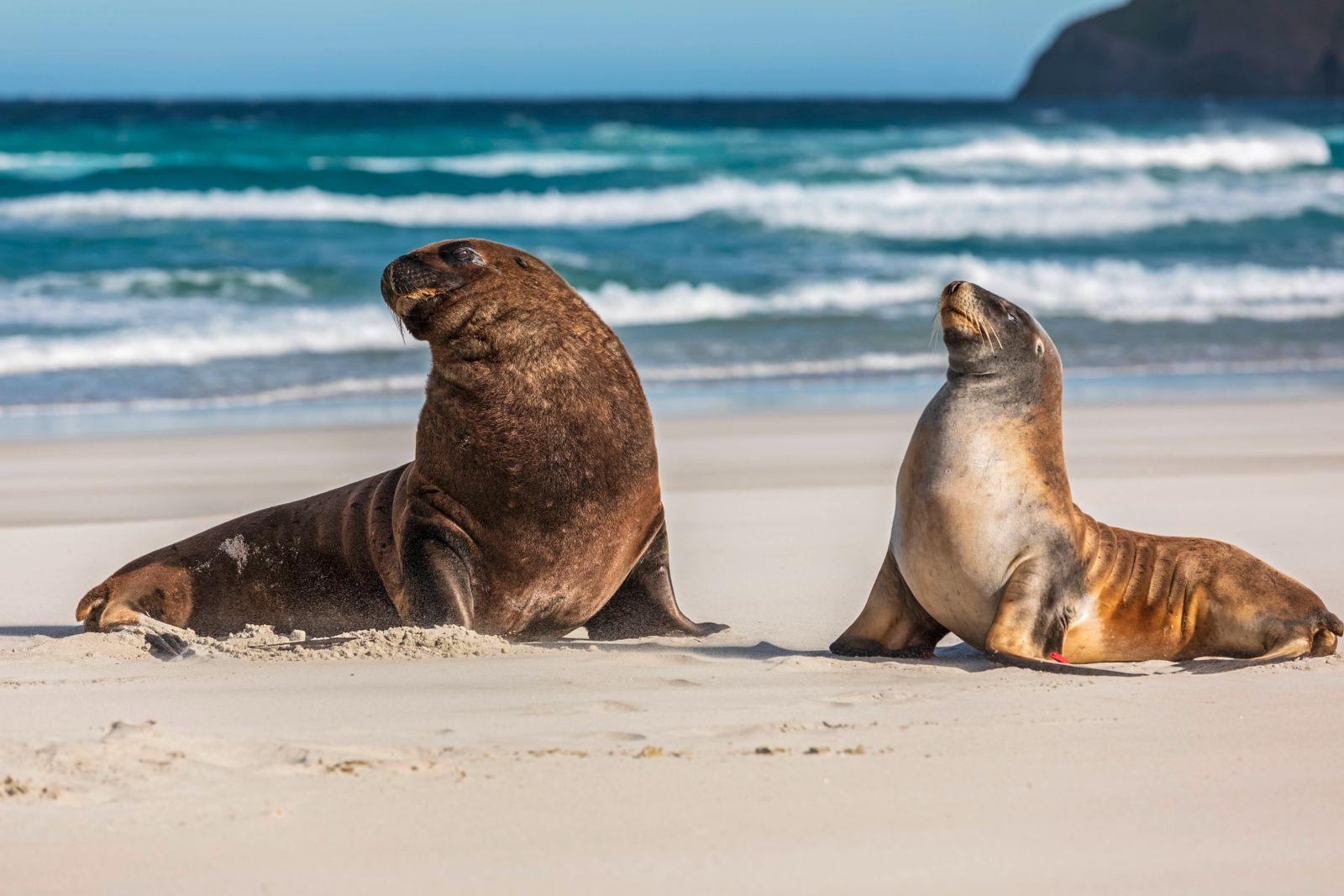 New Zealand, Dunedin, New Zealand sea lions (Phocarctos hookeri) mating on Allans Beach PUBLICATIONxINxGERxSUIxAUTxHUNxO