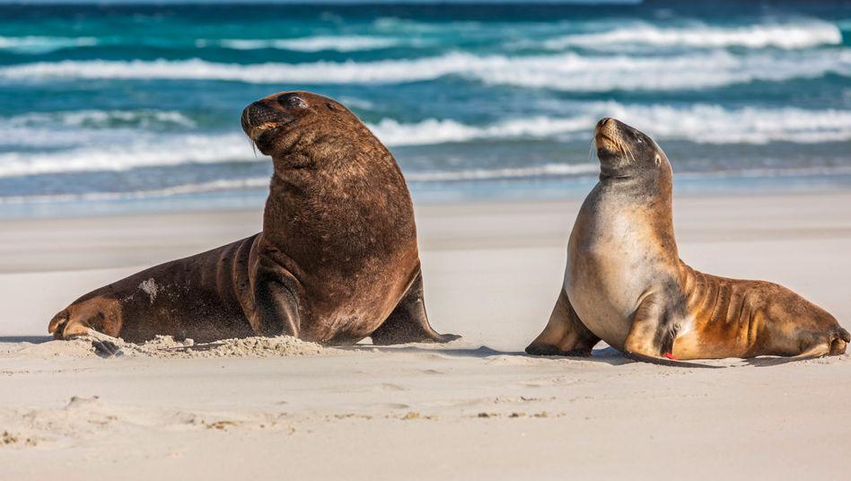 Neuseeländische Seelöwen in Dunedin (Symbolbild): Die Meeressäugergelten als bedroht