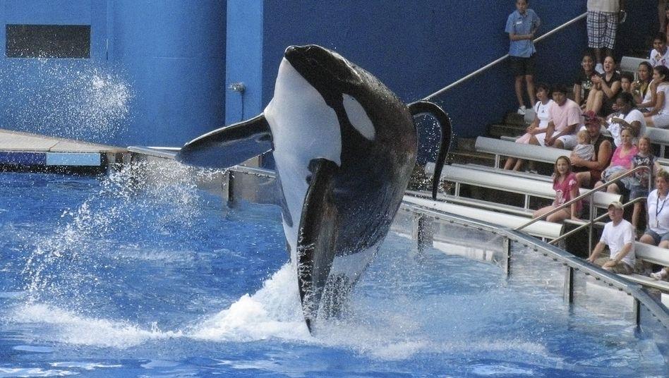 Vergnügungspark Orlando, Florida: Killerwal Tillikum, dem Publikum besser bekannt unter dem Spitznamen Tilly, während der Show