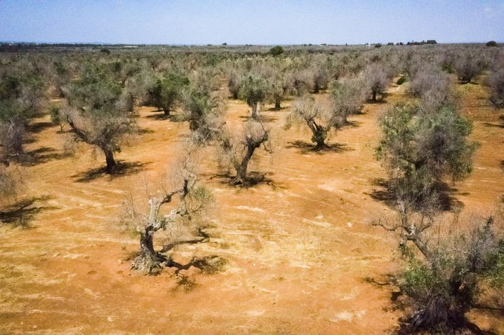 """Von Xylella befallene Bäume Nahe Gallipoli, Apulien im Juni 2019: """"Wir produzieren heute 80 Prozent weniger Öl als noch vor fünf Jahren"""""""