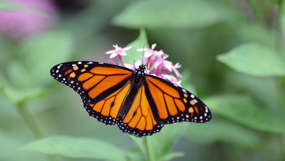 Monarchfalter (Danaus plexippus): Kann Spuren von Brackwespen-Erbgut enthalten