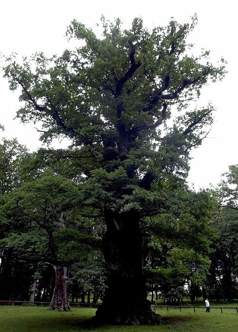 Iconic German oaks like this mighty Mecklenburg-Vorpommern specimen have a strong chance of surviving a warmer world. But a new study suggests one in five German species may face extinction.