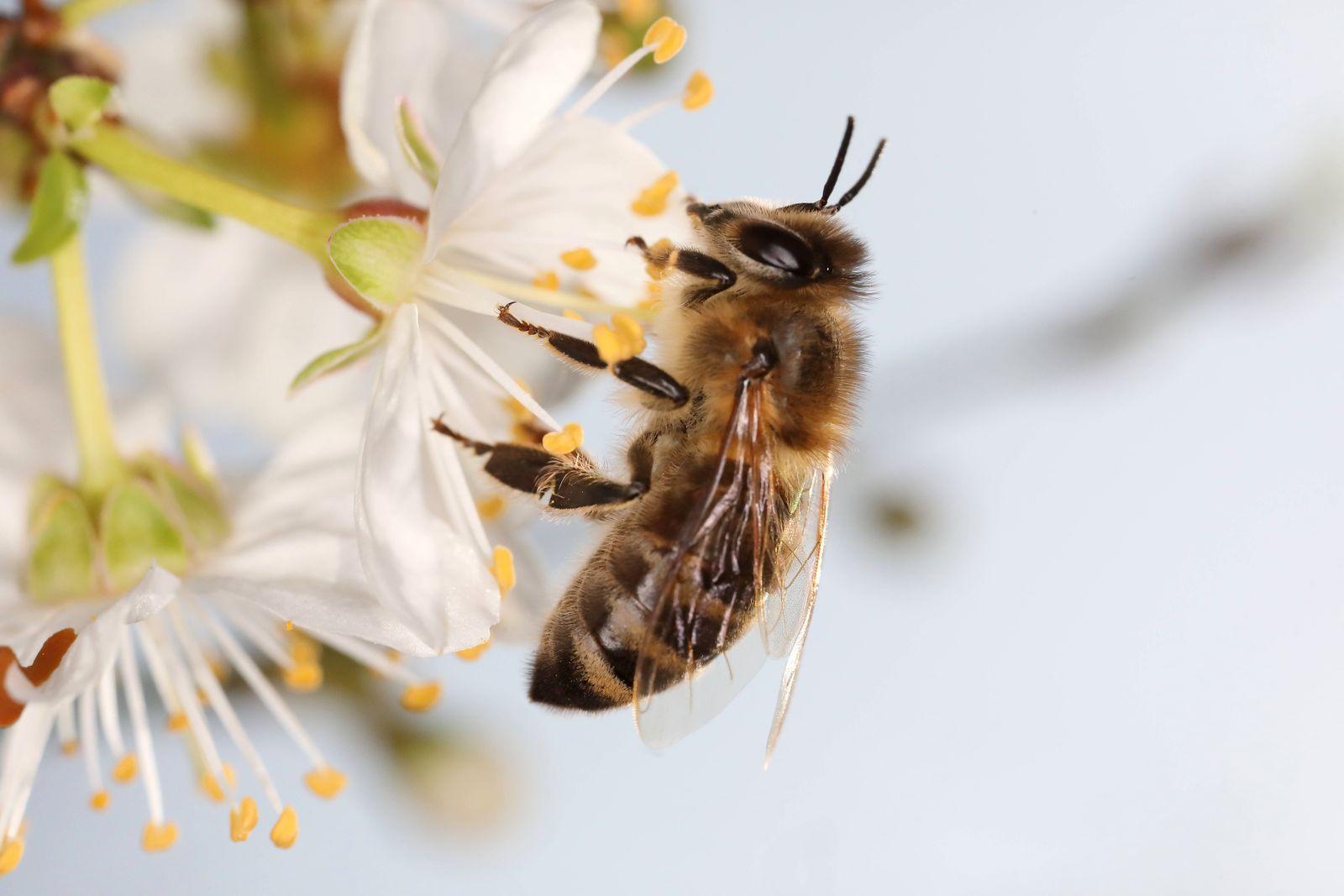 15.03.2020, Berlin, GER - Biene sitzt auf einer Kirschbluete. (Apis, Apis mellifera, aufgeblueht, aussen, Aussenaufnahme
