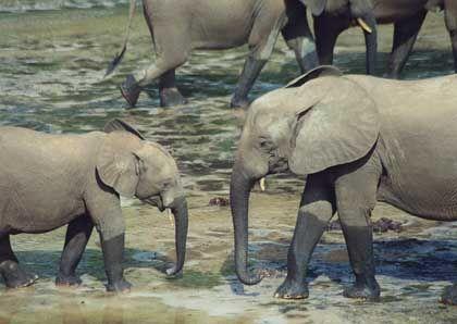 Familienbande: Elefantenbabys erfreuen sich stets der Aufmerksamkeit von älteren Geschwistern, Tanten und selbst ernannten Babysitterinnen