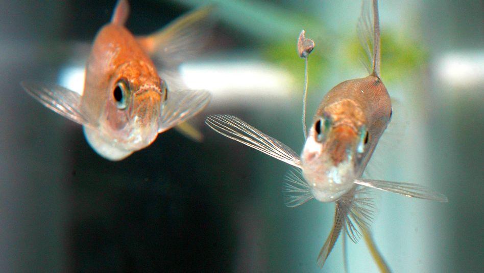Zum Anbeißen: Fischmännchen (rechts) lockt Weibchen mit Futter-Anhängsel