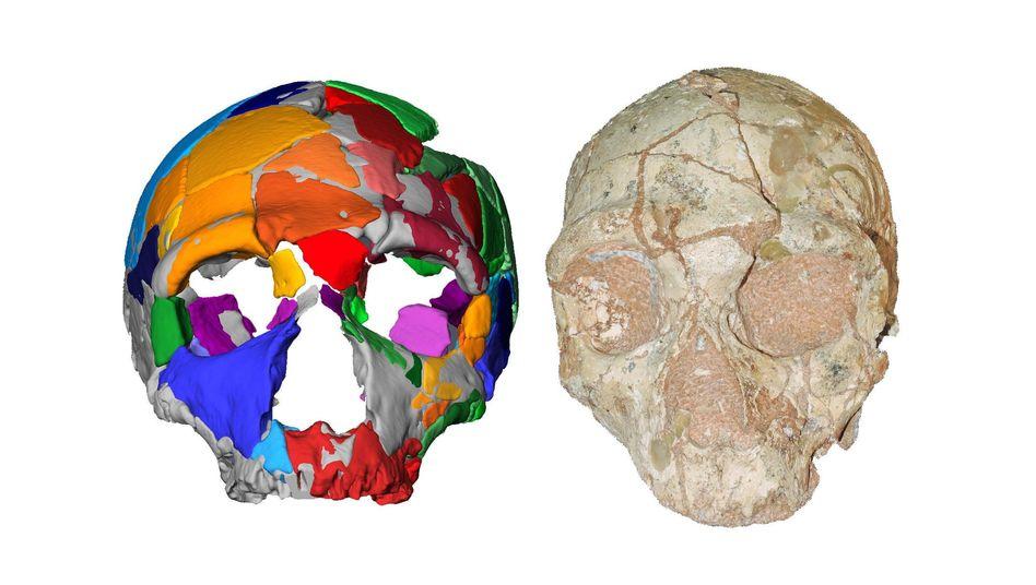 Schädel mit digitaler Rekonstruktion: Der gerundete Hinterkopf deutet auf eine frühe Form des Homo sapiens hin