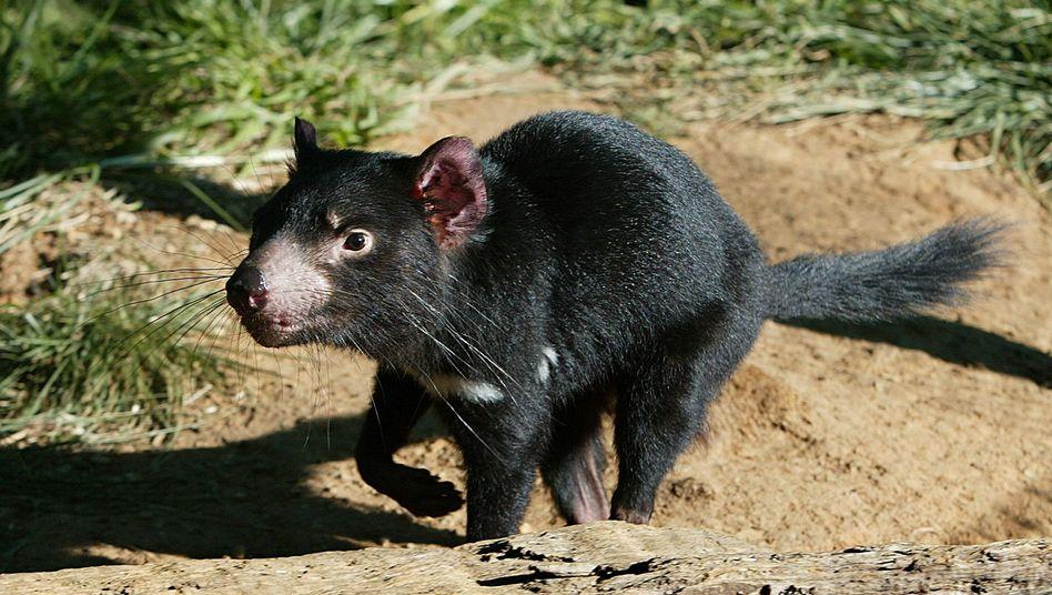 Tasmanischer Teufel: Möglicherweise resistente Untergruppe gefunden